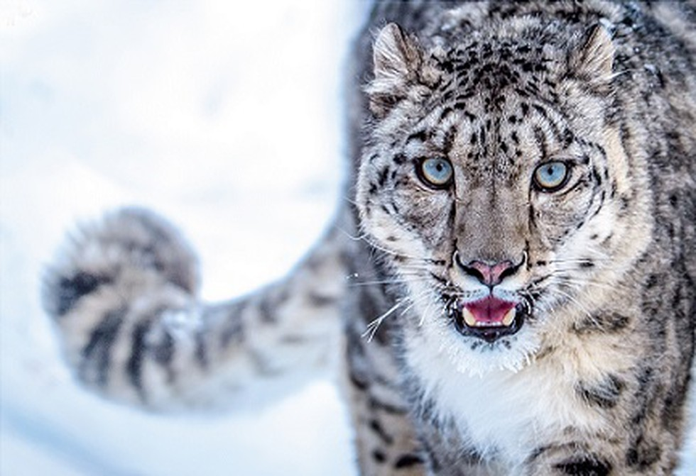 India will commission its first-ever snow leopard survey to estimate the  population and geographical range of the snow leopard.